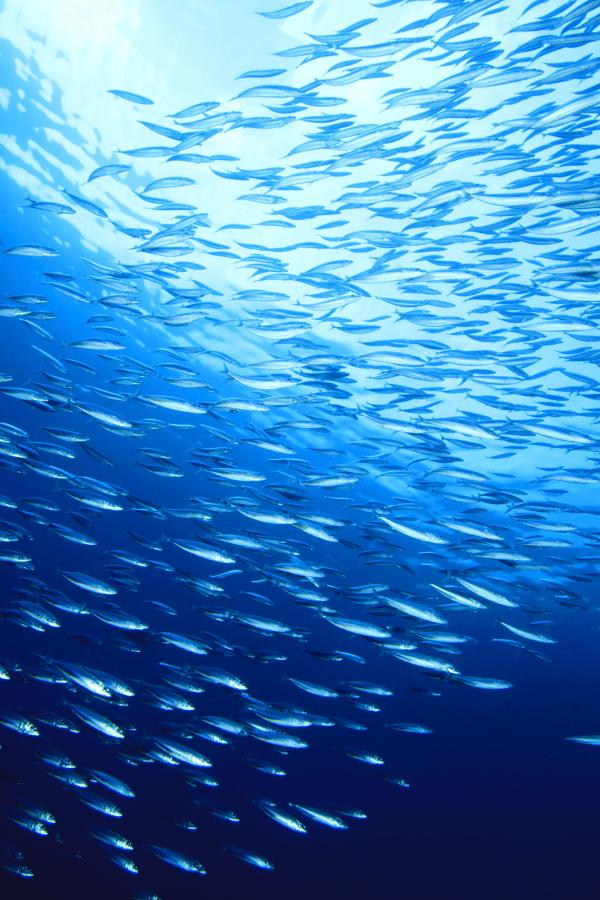 Sardinillas bajo el agua del mar